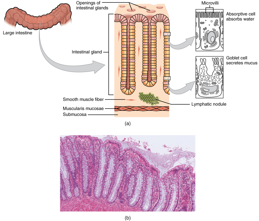 hight resolution of this image shows the histological cross section of the large intestine the left panel shows