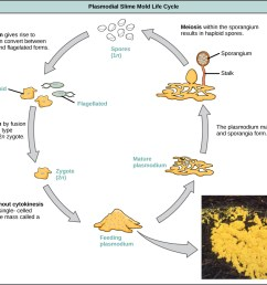 illustration shows the plasmodium slime mold life cycle which begins when 1n spores germinate  [ 1118 x 937 Pixel ]