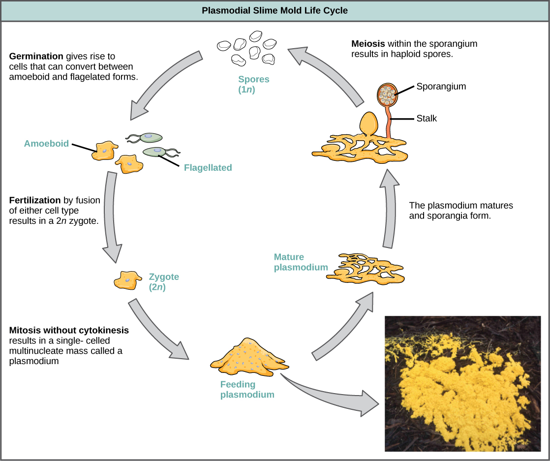 hight resolution of illustration shows the plasmodium slime mold life cycle which begins when 1n spores germinate