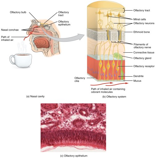 small resolution of the olfactory system the top left panel of this image shows the side view of a person s face with