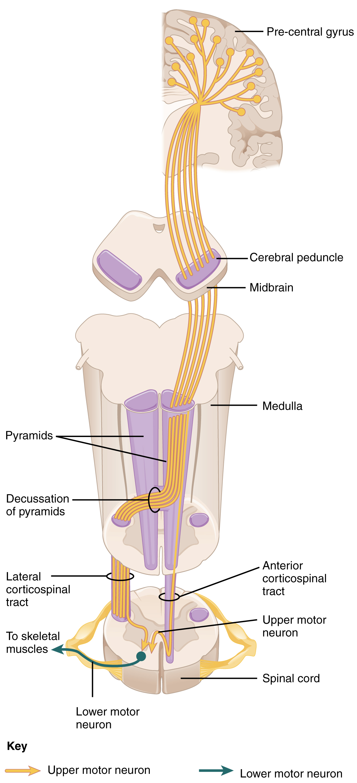 hight resolution of this diagram shows how the motor neurons thread their way through the spinal cord and into