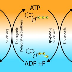 Diagram Of The Atp Molecule 99 Cherokee Stereo Wiring Cycle Pictures To Pin On Pinterest Pinsdaddy