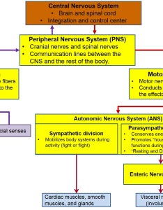 This diagram shows the organization of nervous system also ou human physiology basic structure and function rh cnx
