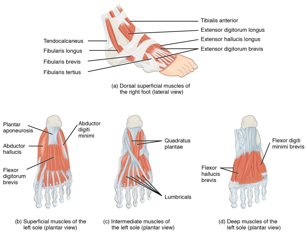 medium resolution of located at https cnx org resources 747c45c7283beabbdf2f8e385a60cbb7e3a49ac5 1124 intrinsic muscles of the foot jpg