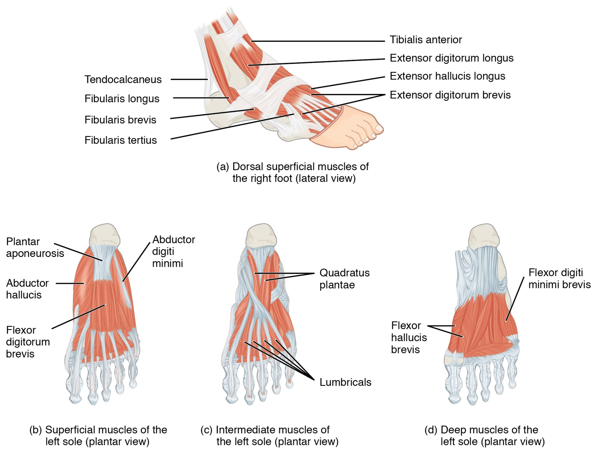 hight resolution of located at https cnx org resources 747c45c7283beabbdf2f8e385a60cbb7e3a49ac5 1124 intrinsic muscles of the foot jpg