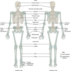 Axial Skeleton Skull Diagram Home Theater Speaker Wiring Bones Of The Body As Physical Education