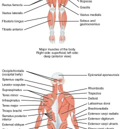 located at https cnx org resources 8a3b1231f319214a74cffda6b70ff2c166e55a81 1105 anterior and posterior views of muscles jpg  [ 1304 x 3033 Pixel ]
