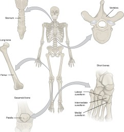 Bone Classification - Anatomy \u0026 Physiology for 8th Grade - OpenStax CNX [ 1173 x 1012 Pixel ]