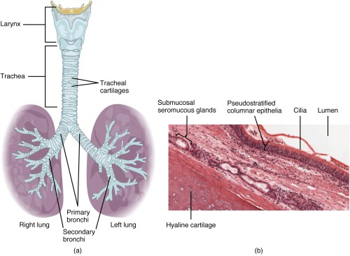 small resolution of the top panel of this figure shows the trachea and its organs the major parts