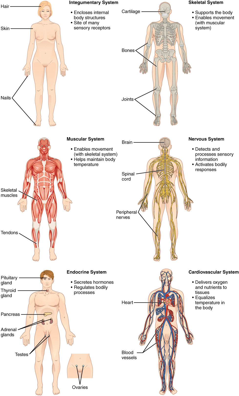 medium resolution of human anatomy and physiology lab bsb 141