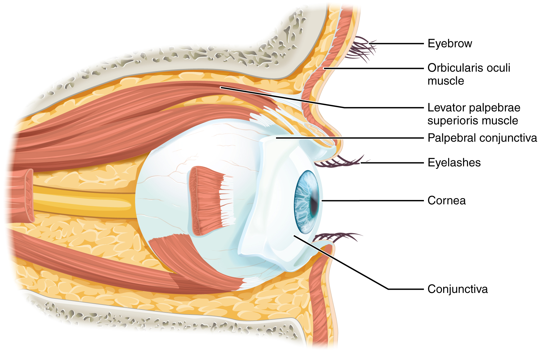 parts of the eyelid diagram showing esophagus and windpipe special senses  anatomy eye oer commons