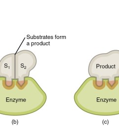 this image shows the steps in which an enzyme can act the substrate is shown [ 2261 x 844 Pixel ]
