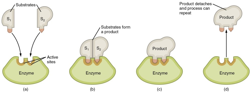 medium resolution of this image shows the steps in which an enzyme can act the substrate is shown
