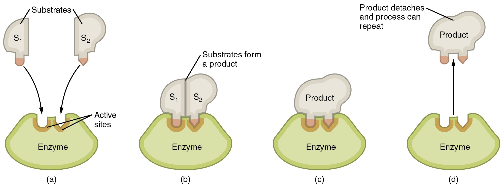 hight resolution of this image shows the steps in which an enzyme can act the substrate is shown