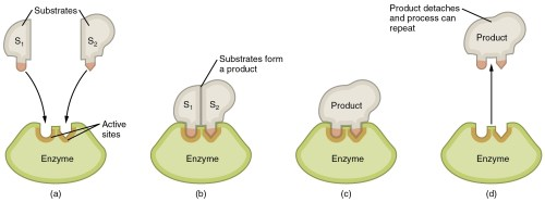 small resolution of this image shows the steps in which an enzyme can act the substrate is shown