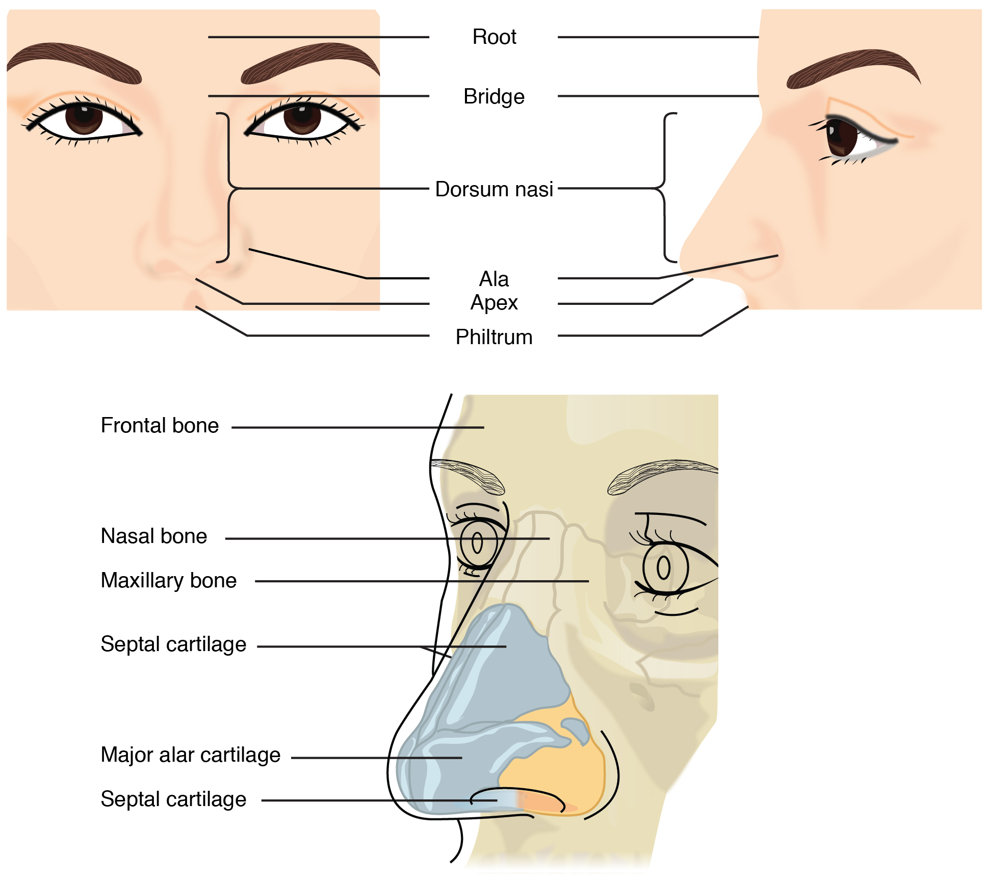 diagram of the nose and its functions basic fishing boat wiring contemporary health issues