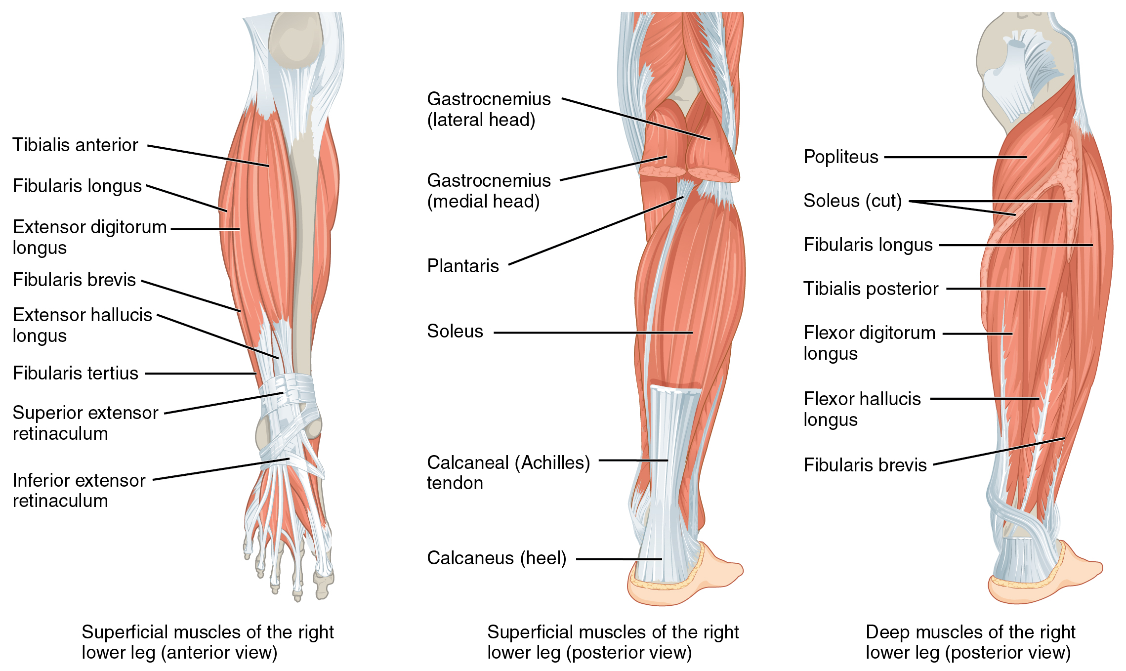lower leg nerve diagram wiring for home generator muscles of the and foot human anatomy physiology lab bsb 141