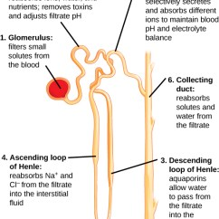 Kidney Nephron Structure Diagram Gothic Architecture The Mammalian How Nephrons Perform Osmoregulation Biology 1520 Illustration Labels Parts Of A And Their Function Begins At Glomerulus
