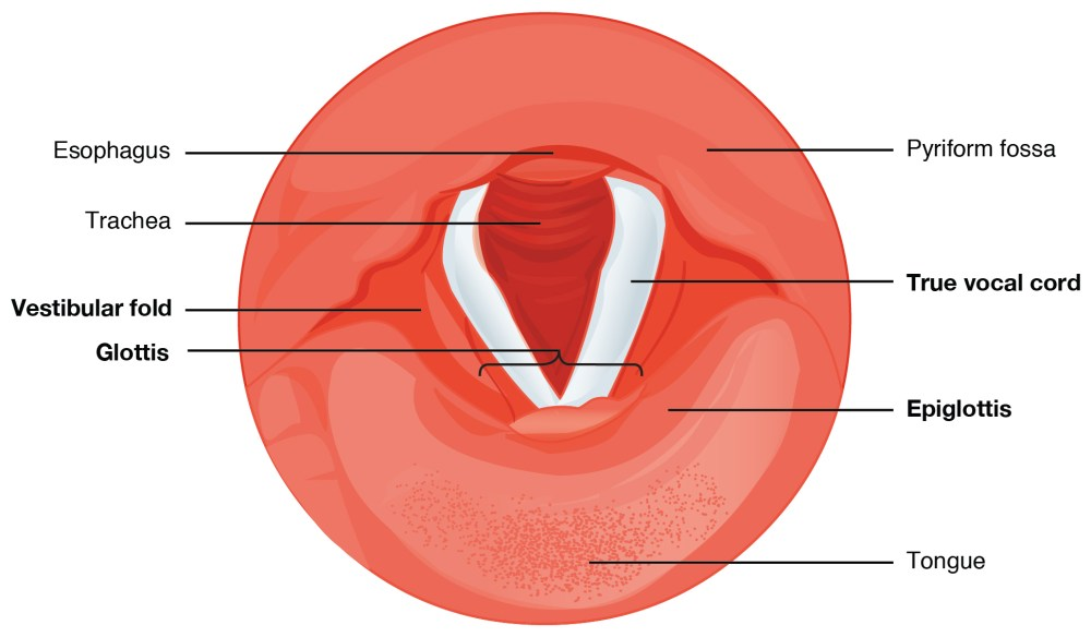 medium resolution of vocal cords this diagram shows the cross section of the larynx the different types of cartilages are