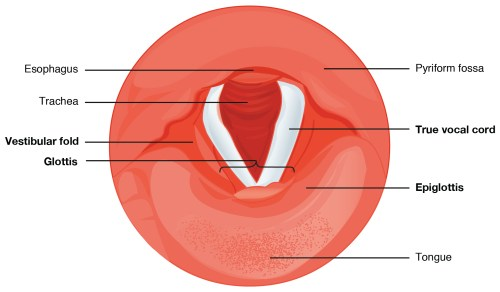 small resolution of vocal cords this diagram shows the cross section of the larynx the different types of cartilages are