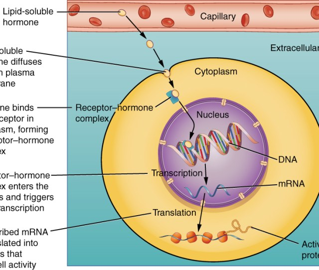 This Illustration Shows The Steps Involved With The Binding Of Lipid Soluble Hormones Lipid