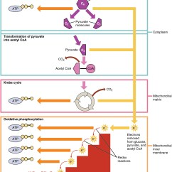 Diagram Of The Atp Molecule Cat5 Wiring Faceplate Carbohydrate Metabolism Anatomy And Physiology Openstax Cnx