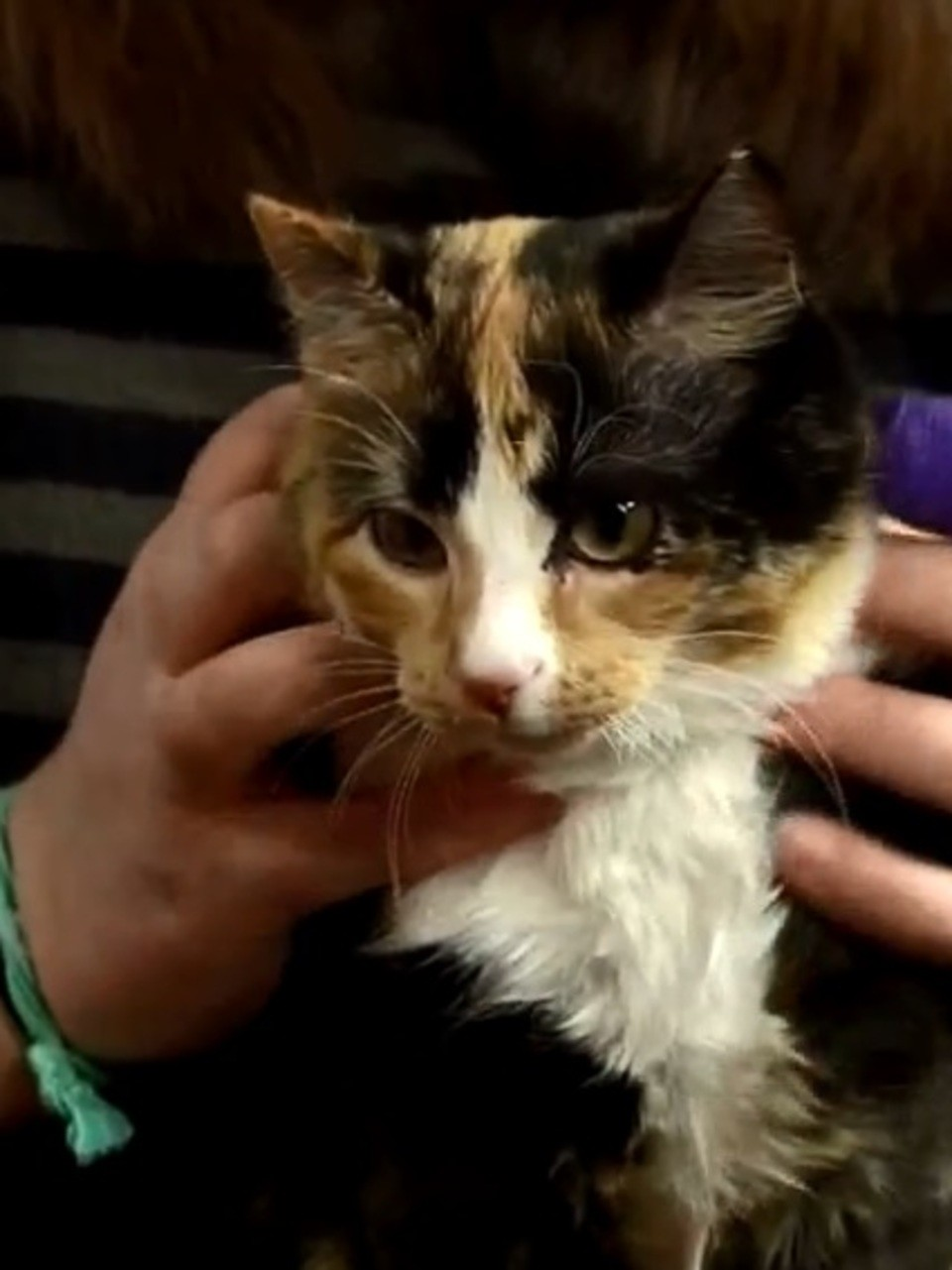 Calico Kittens For Sale Near Me : calico, kittens, Calico, Adoption, Coalition