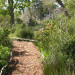 Restios and Elegias help the transition from riverine planting to forests thumbnail