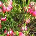 Ericas in full bloom! thumbnail