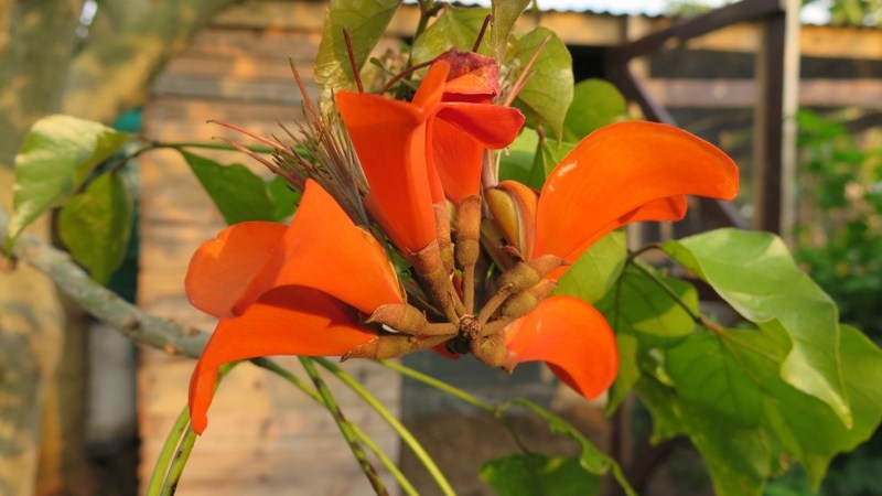 Coral tree flower
