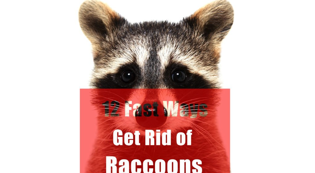 12 Fast Ways To Get Rid Of Raccoons In Attic Yard
