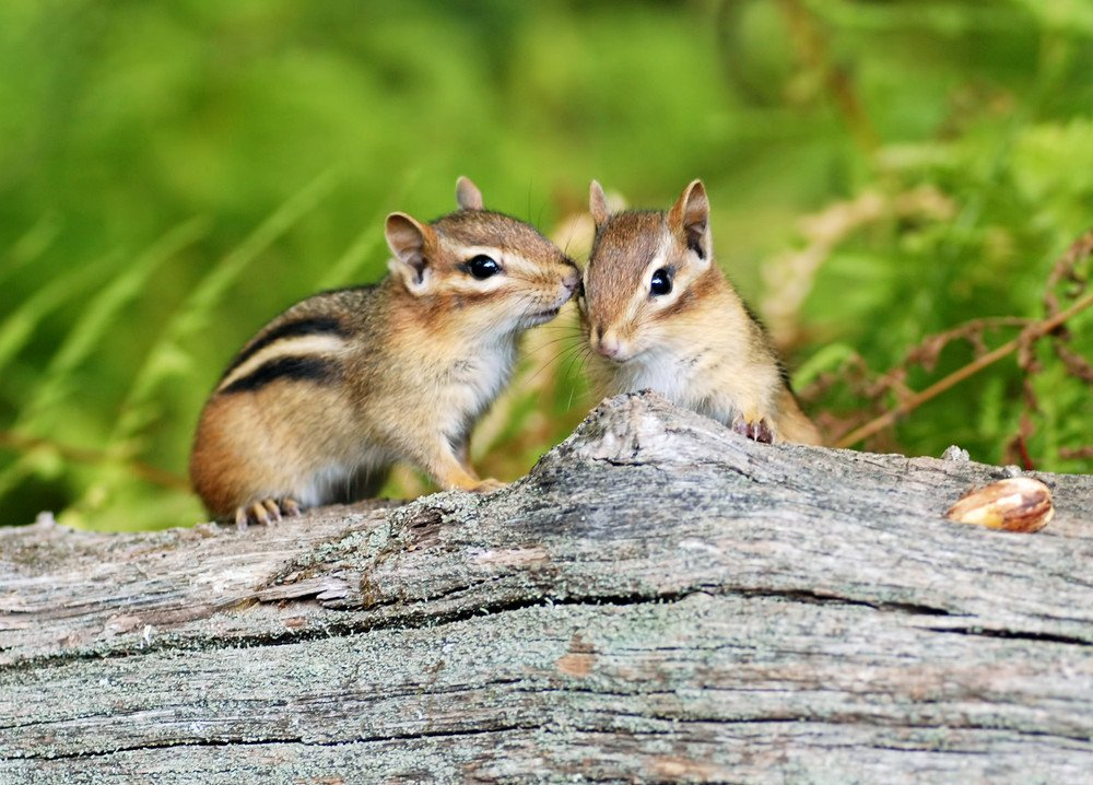 chipmunks cute furry animal