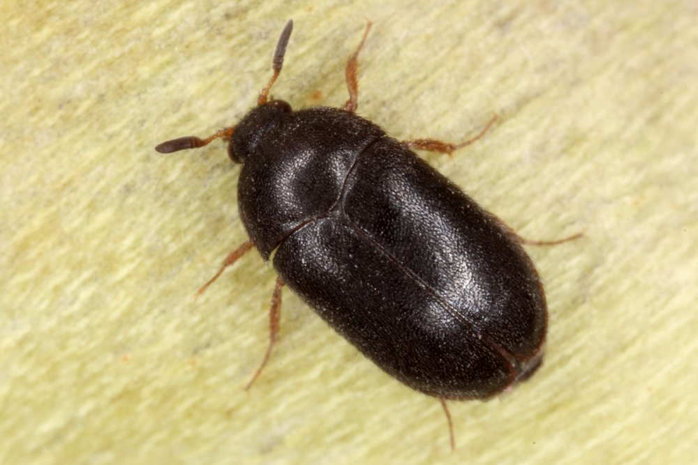 How To Tell The Difference Between Bed Bugs Versus Carpet ...
