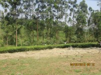 Shade trees planted at the edge of the tea plantation