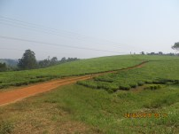 Tea plantation access route