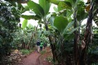 Coffee plants grow in the shade of the banana trees