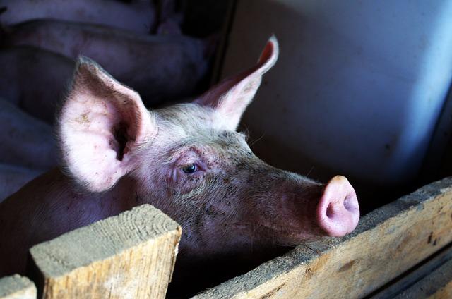 Schweinezucht Antibiotika Hormone ungesund