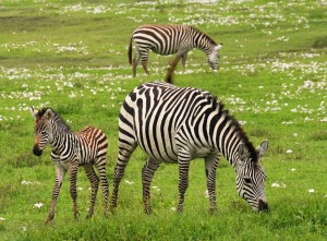 baby-zebra-75885_960_720