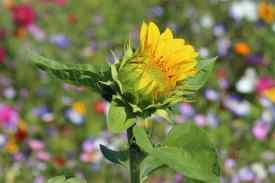 Sonnenblume-aufbluehend