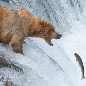 Alaskan brown bear catching a jumping salmon, Brooks Falls.