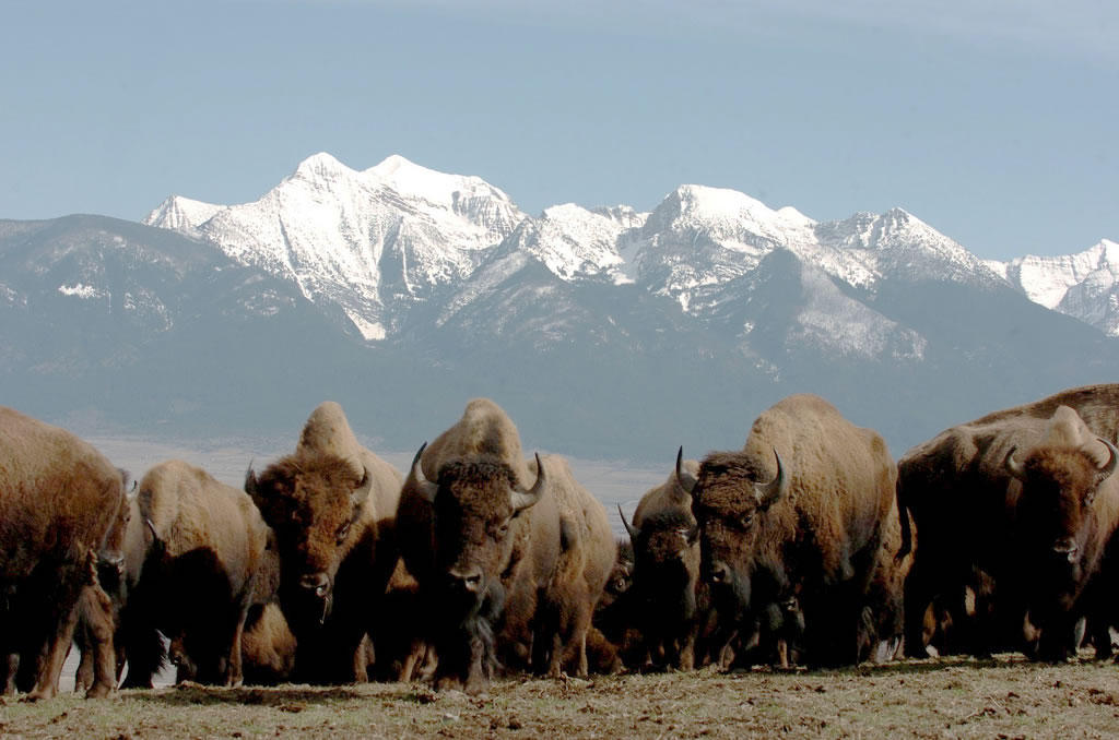 herd of bison with snow capped mountains in the background