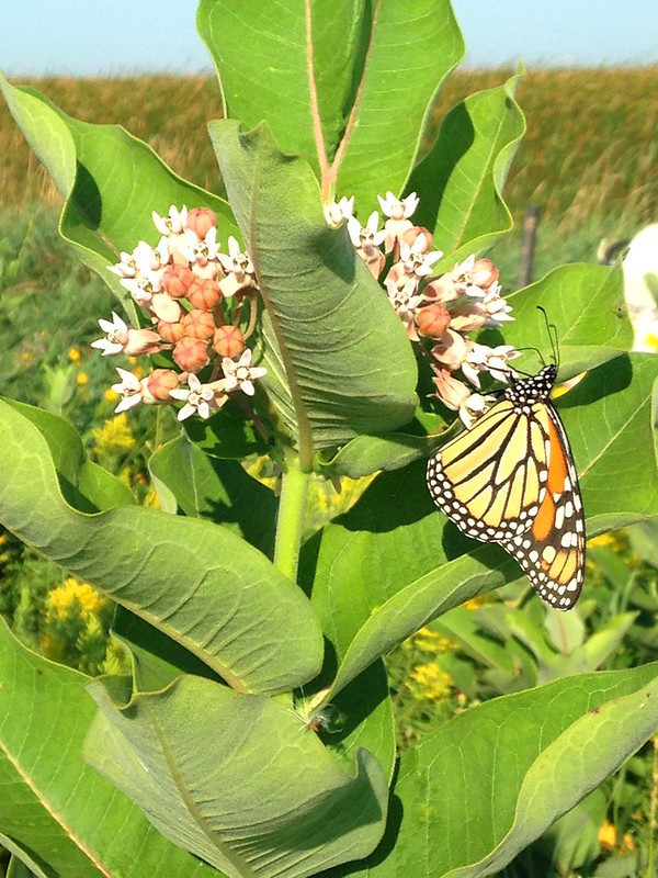 Monarch butterfly feeding on milkweed flowers.