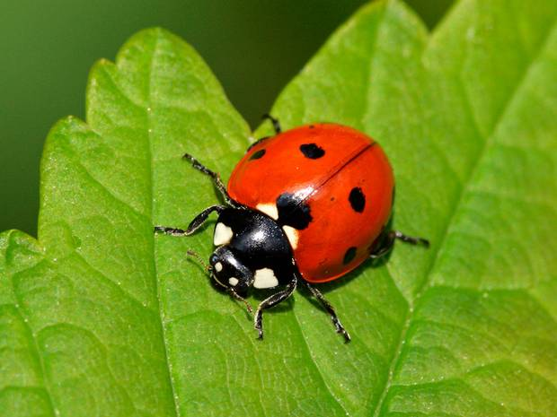 The Ladybug is Delaware's official state bug!