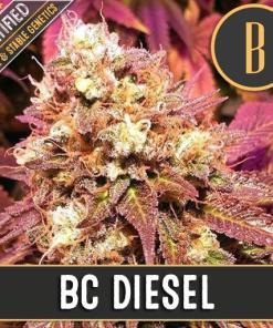 BC Diesel Feminized Seeds