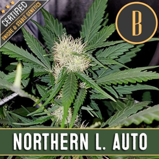 Northern Lights Autoflower for Coastal Mary Seeds