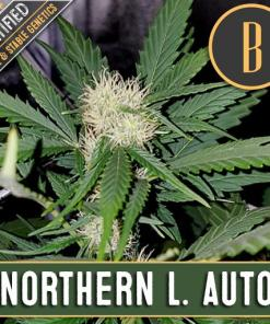 Northern Lights Autoflower for Coastal Mary Seeds