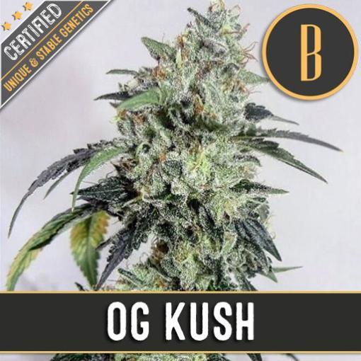 OG Kush feminized cannabis seeds