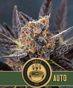 Tangie Autoflower seeds