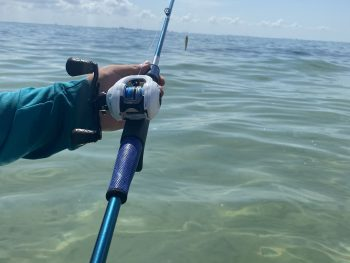 Coastal Predator Incursion series Bait caster rod. Metallic Blue Rod. Blue Winn Grips. Silver Thread Wraps. Acid Wrapped American Tackle Company Microwave Guides. Tubby Shad Greenback over Glass smooth and clear water of Sanibel Island.