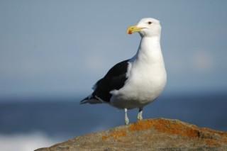 A San Francisco Seagull